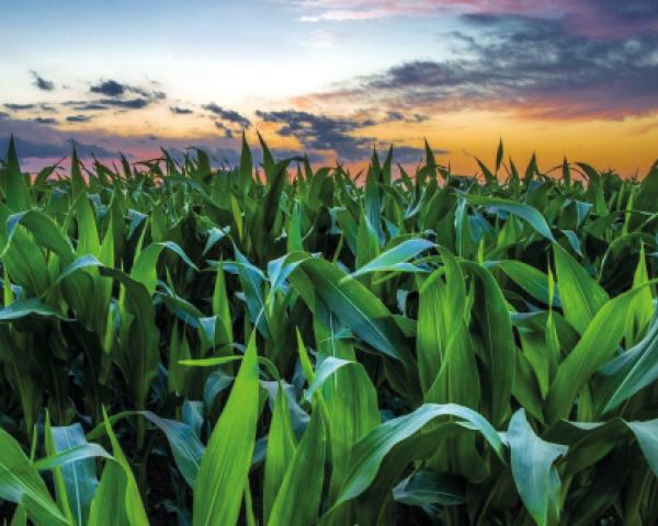 Corn cobs making hot water